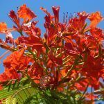 Tropical Red flower bunch perth