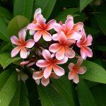frangipani flowers perth