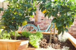 fruit trees in planter box